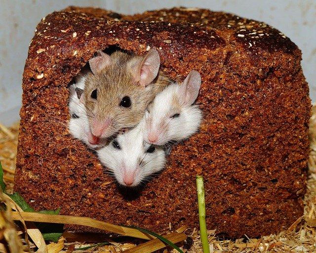 myšky v chlebu