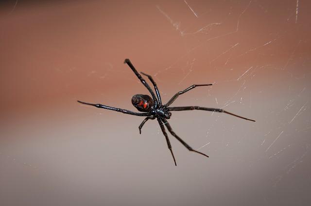 černá vdova pavouk